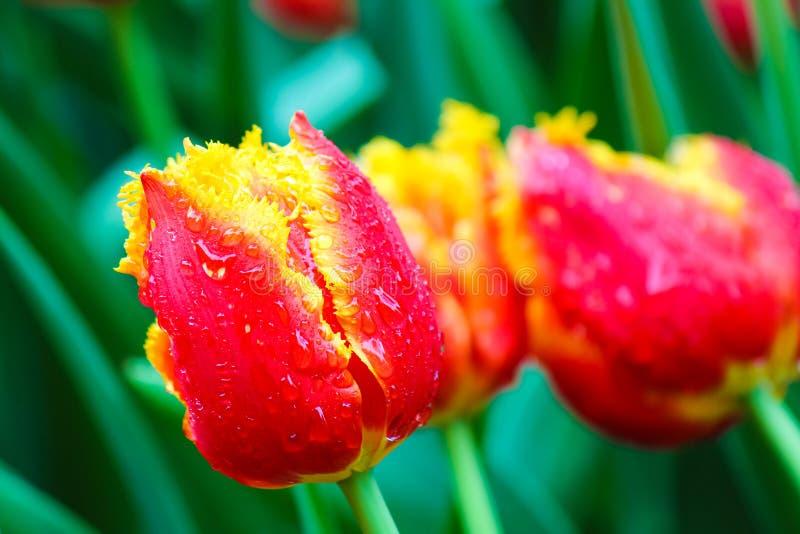 Bello dettaglio del tulipano giallo rosso con le gocce di rugiada di mattina Nel fondo foglie verdi vaghe ed altri fiori variopin fotografia stock