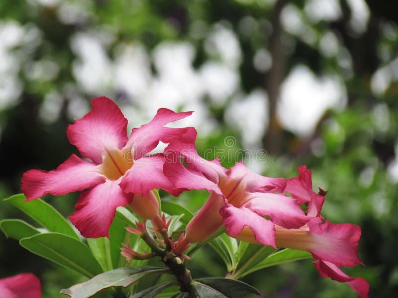 Bello di derisione Aza del giglio dell'Rosa-impala dei fiori o del deserto dell'azalea immagini stock libere da diritti