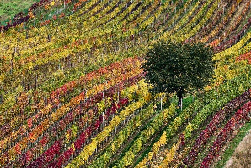 Bello di melo nelle vigne all'alba in autunno Moravian del sud Repubblica ceca immagine stock