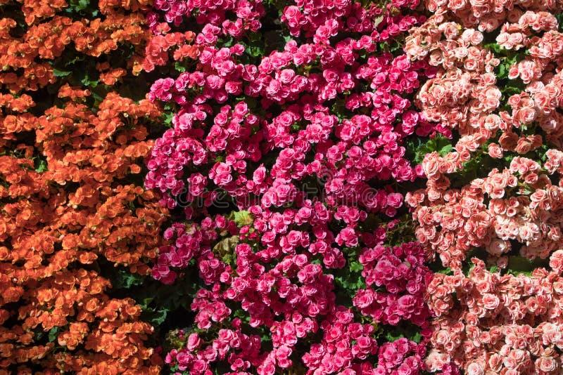 Bello di Rose Wall variopinta fotografia stock libera da diritti