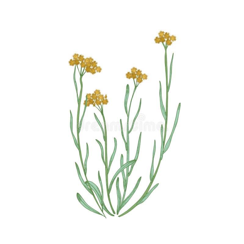 Bello disegno dettagliato dei fiori nani e delle foglie del everlast isolati su fondo bianco Prato selvaggio disegnato a mano illustrazione vettoriale