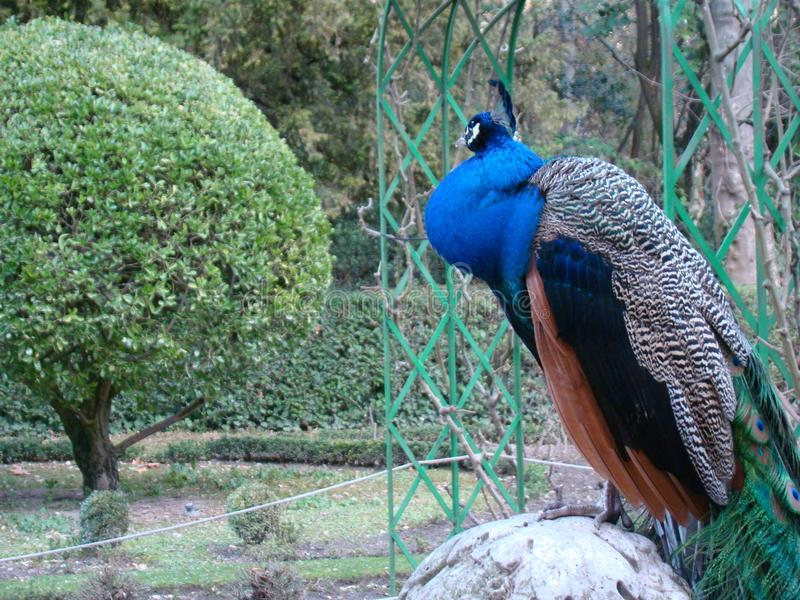 Bello distogliere lo sguardo del pavone fotografia stock
