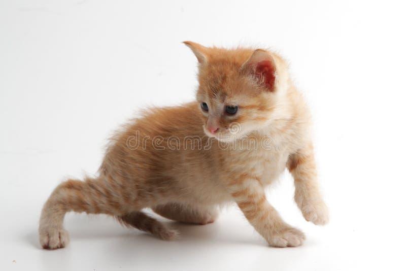 Bello e gattino marrone espressivo su un fondo bianco immagine stock libera da diritti