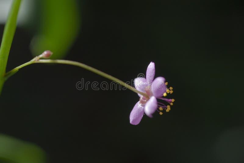 Bello e micro fiore rosa esagerato immagine stock libera da diritti