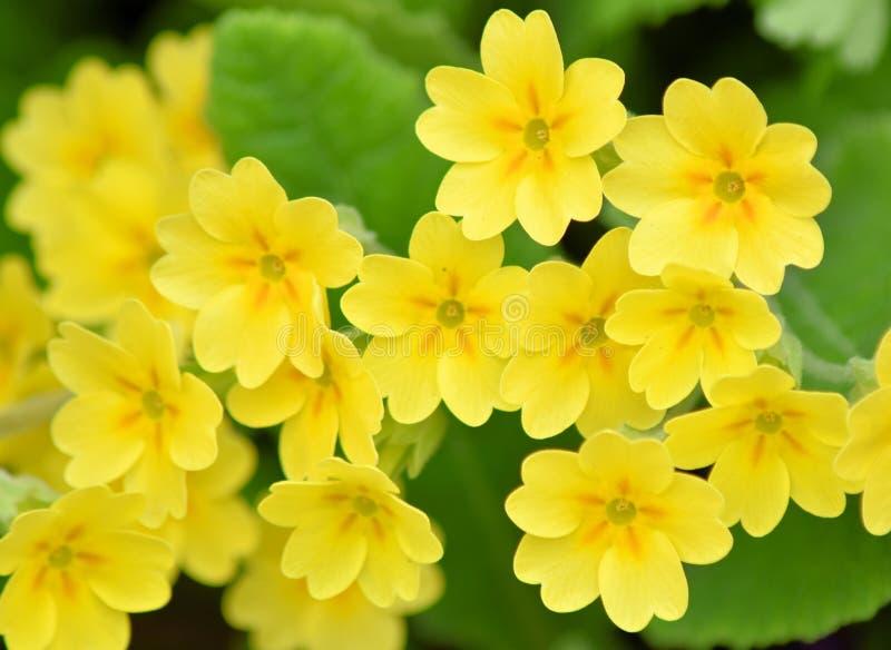 Bello ed incoraggiando la primaverina comune - primula vulgaris immagini stock