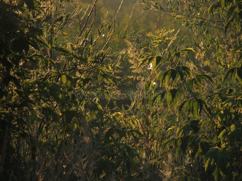 Bello favoloso ha scolpito i contorni openwork di erba verde e di fogliame, illuminati dal sole dorato dell'alba immagini stock libere da diritti
