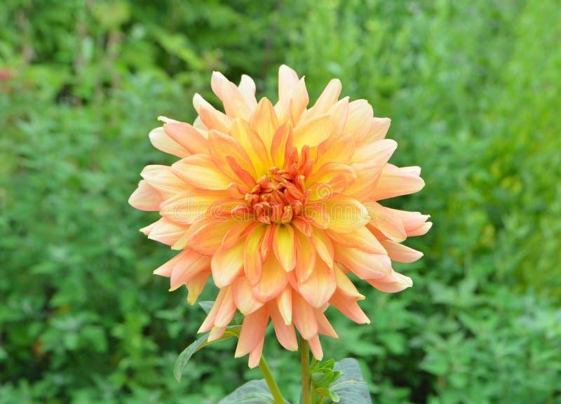 Bello fiore arancio della dalia con le foglie verdi fotografia stock