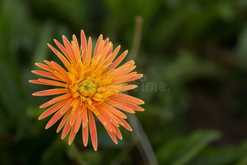 Bello fiore, fiore arancio della gerbera in natura sul backgr della sfuocatura immagini stock