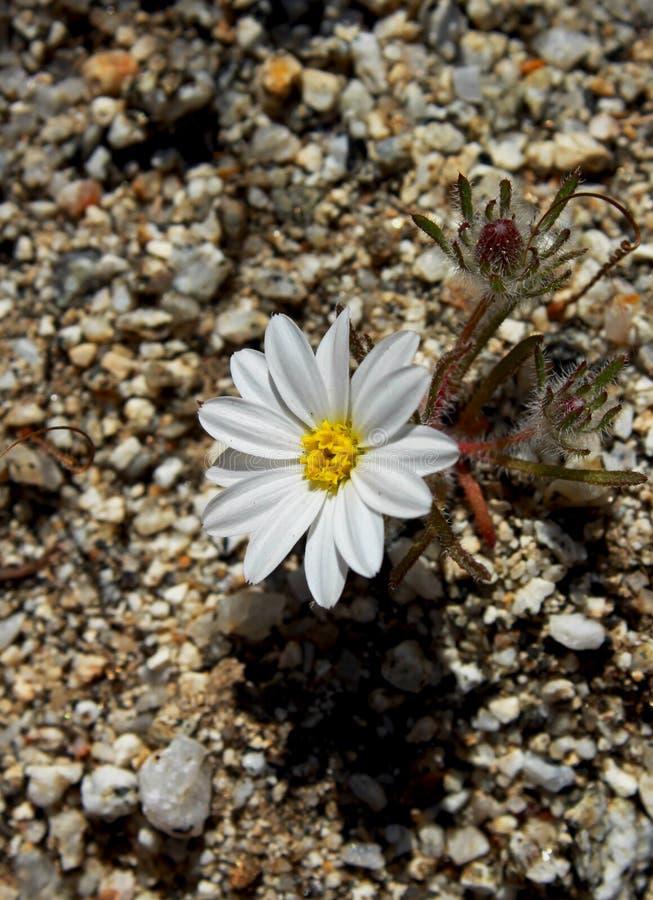 Bello fiore bianco della stella del deserto, parco di stato del deserto di Anza Borrego fotografia stock libera da diritti