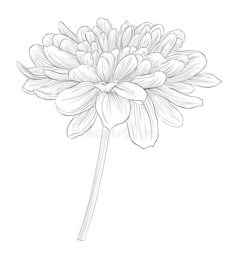 Bello fiore in bianco e nero monocromatico della dalia isolato su fondo bianco illustrazione di stock