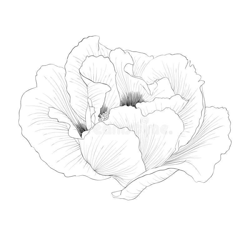 Bello fiore in bianco e nero monocromatico di paeonia arborea della pianta (peonia dell'albero) isolato su fondo bianco illustrazione vettoriale