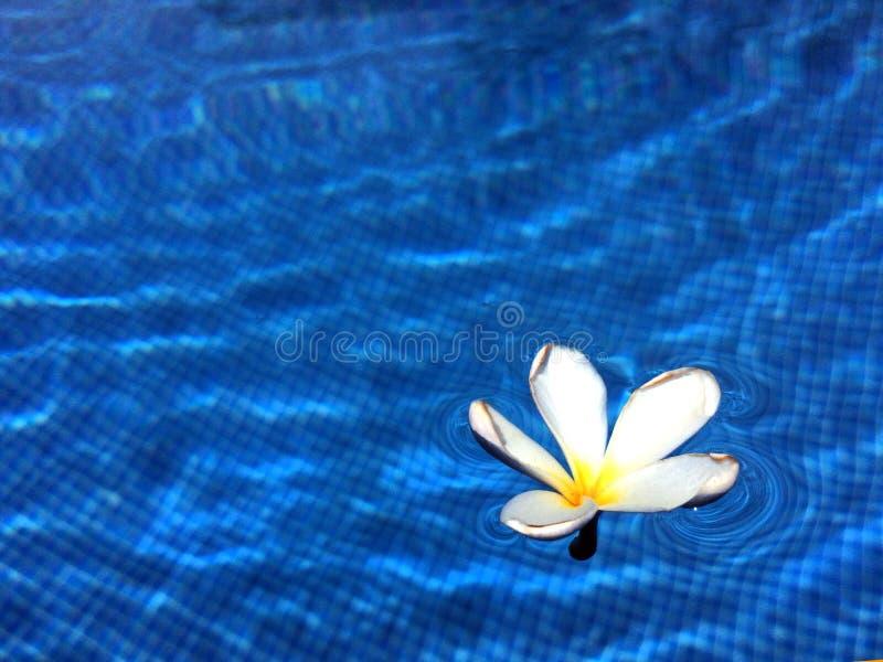 Bello fiore bianco nell'acqua immagine stock