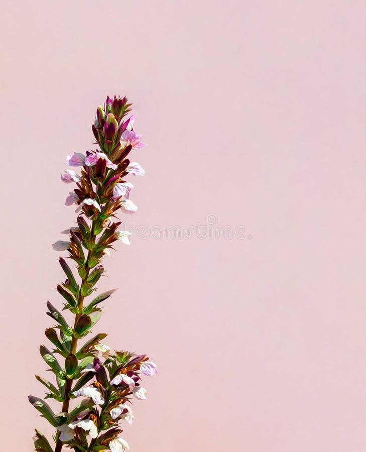 Bello fiore bianco sulla parete rosa Fondo fotografie stock libere da diritti