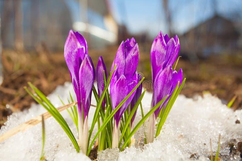 Bello fiore del croco della molla sull'immagine di sfondo fotografia stock