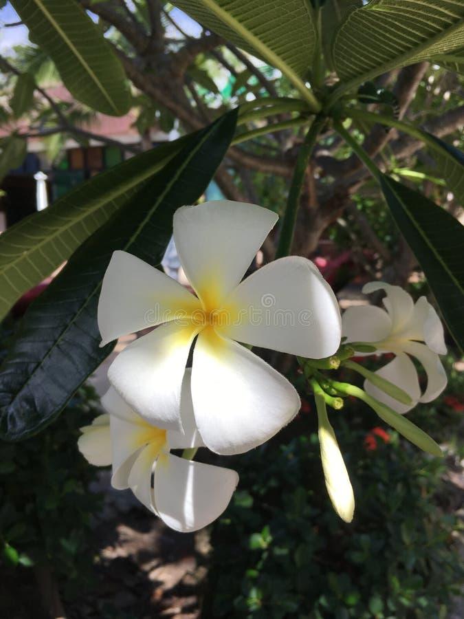 Bello fiore del frangipane su Koh Tao, Tailandia fotografia stock