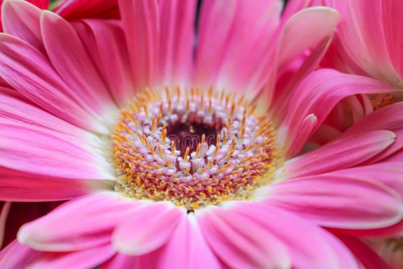 Bello fiore del gerbera fotografia stock libera da diritti