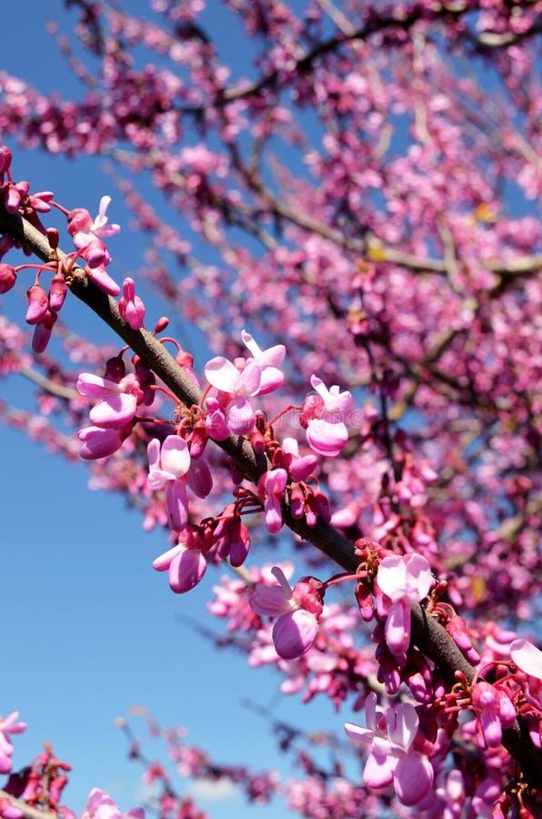 Fiore della molla del mandorlo di Algarve fotografie stock