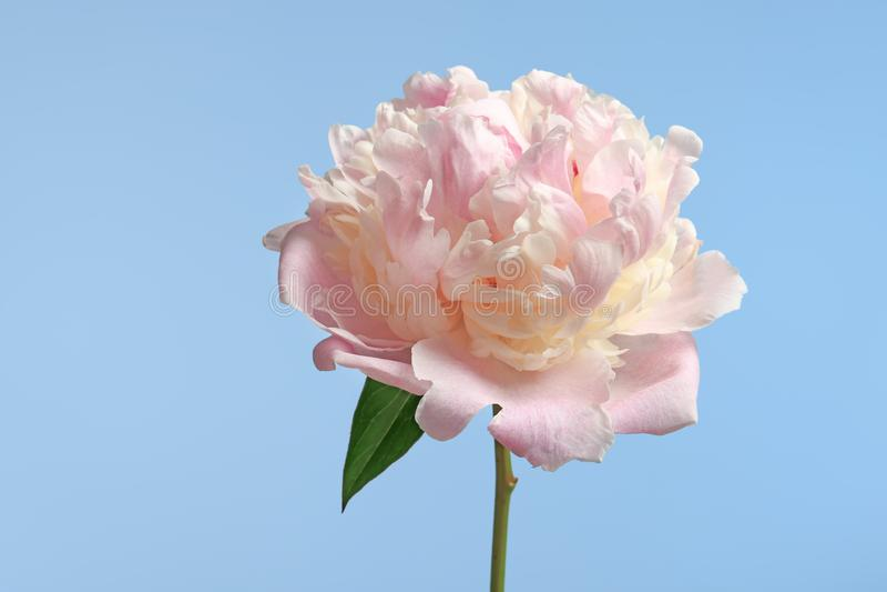 Bello fiore del peony immagini stock