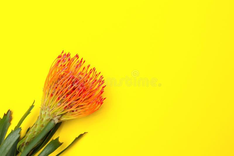 Bello fiore del protea su backgroun giallo fotografia stock
