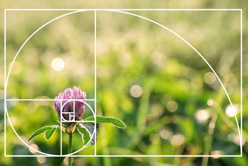 Bello fiore del trifoglio sul prato verde immagine stock
