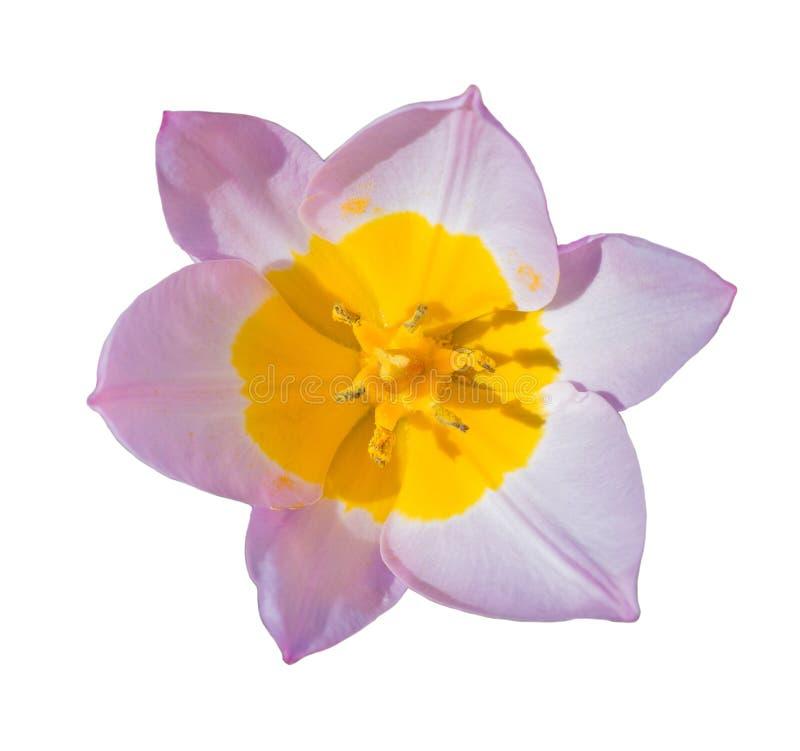 Bello fiore del tulipano del primo piano isolato su bianco fotografie stock