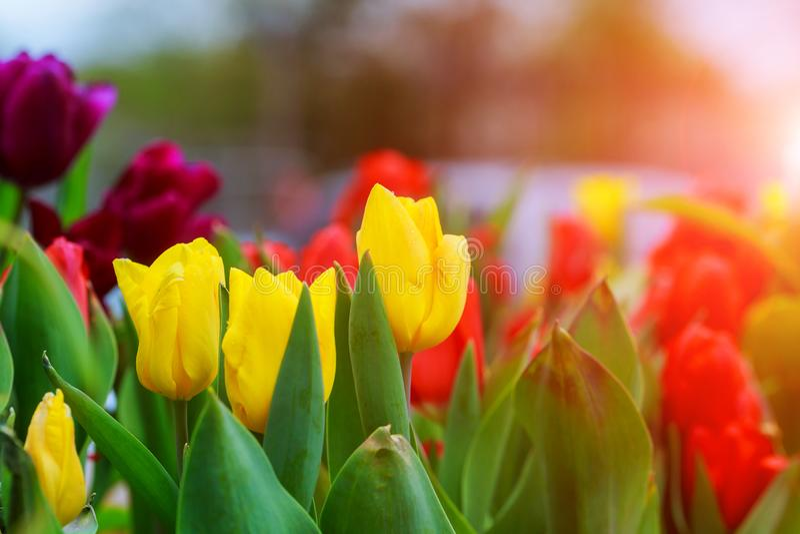 Bello fiore del tulipano nel giardino fotografia stock