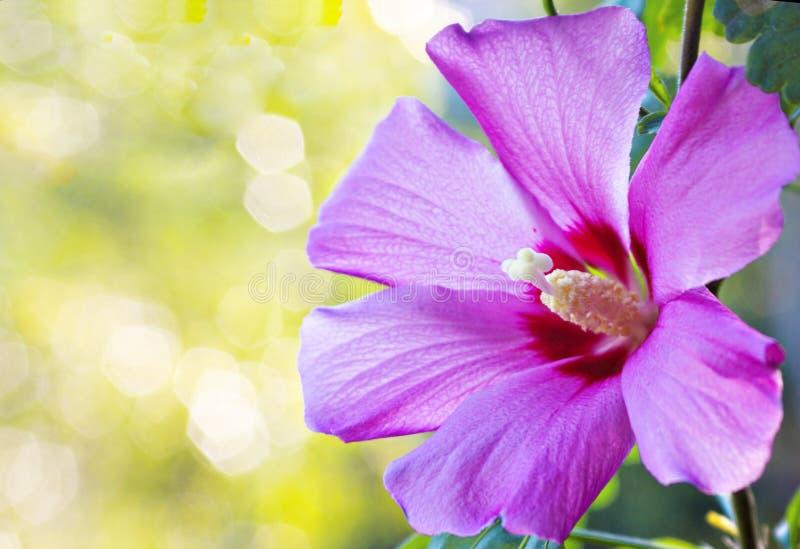Bello fiore dell'ibisco fotografie stock