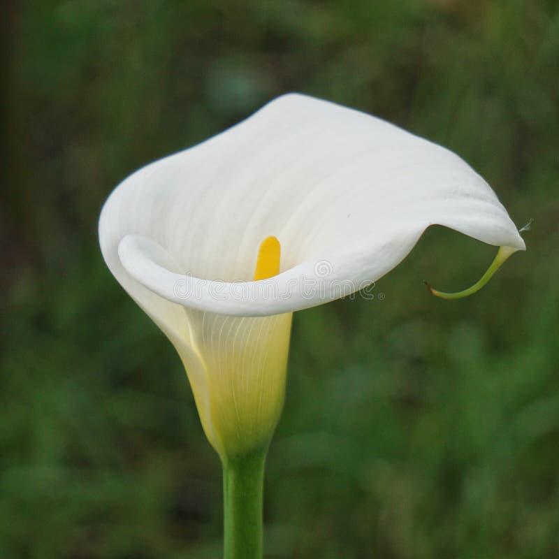 Bello fiore della calla nel giardino immagini stock libere da diritti