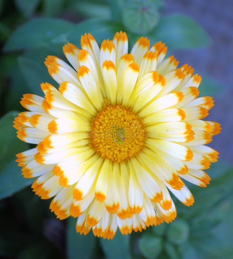 Bello fiore della dalia fotografia stock