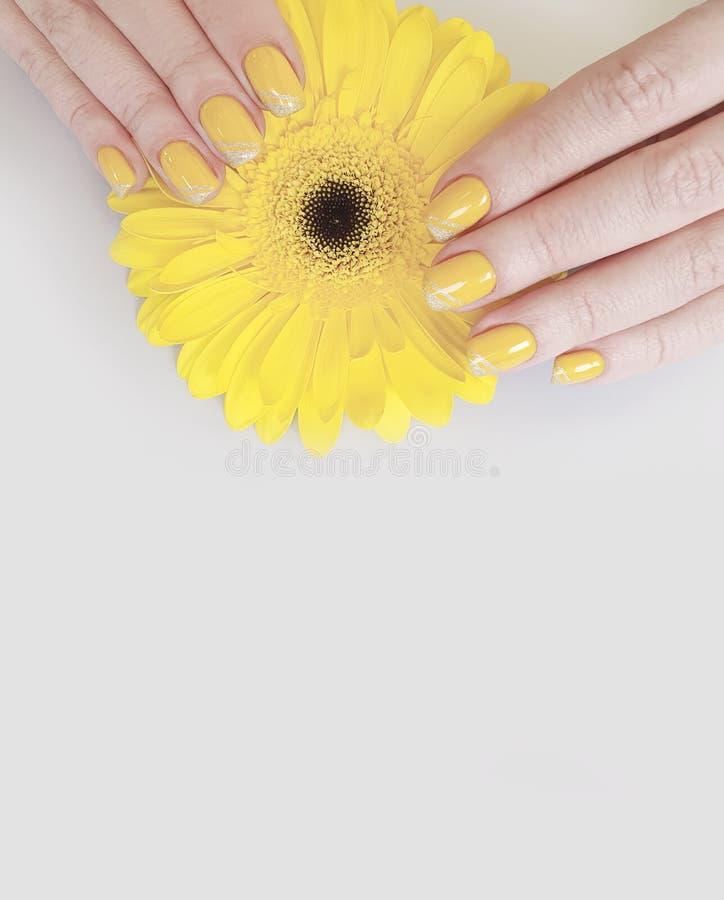 Bello fiore della gerbera del manicure della mano femminile fotografia stock