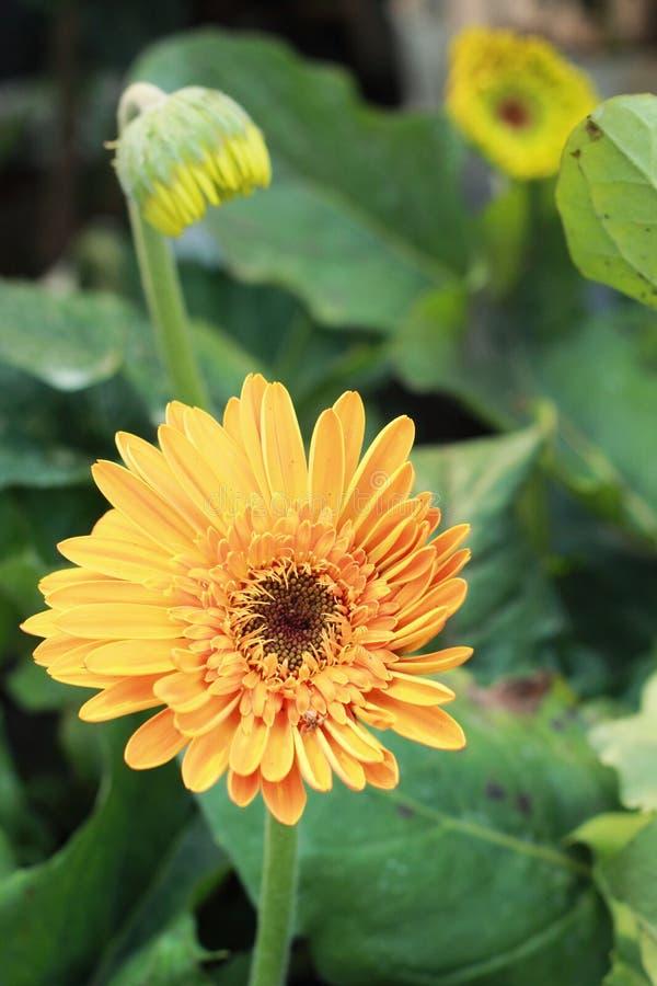 Bello fiore della gerbera in giardino fotografia stock