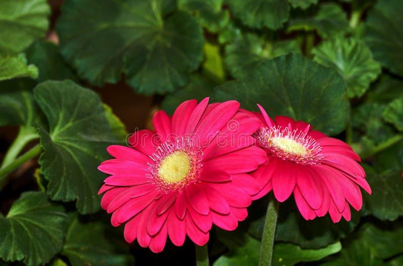 Bello fiore della gerbera in giardino Fiorisca la decorazione di nozze, fondo di fioritura del bello fiore della gerbera Fuoco se fotografie stock libere da diritti