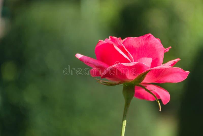 Bello fiore della rosa rossa in parco e nel fondo verde vago fotografie stock libere da diritti