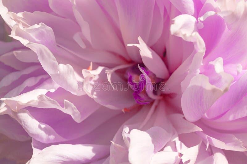 Bello fiore dentellare del peony Dettaglio alto vicino di una peonia comune del giardino Fuoco selettivo fotografia stock libera da diritti