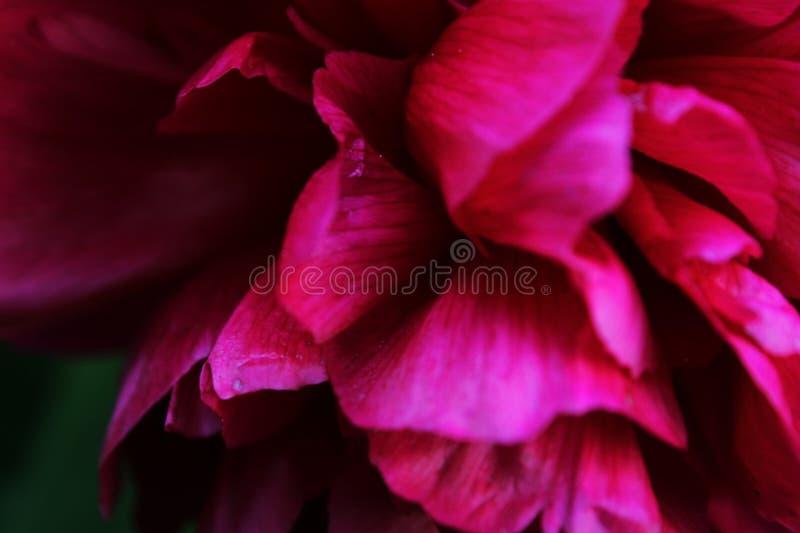 Bello fiore dentellare nel giardino immagine stock