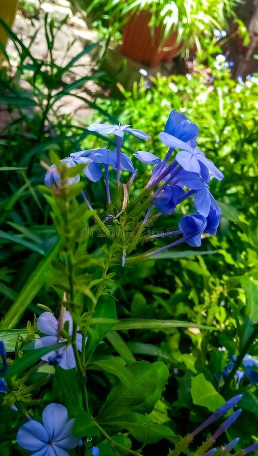 Bello fiore di aurculata del plumbago con un bello fondo e cliccato giustamente con un giusto punto del fuoco fotografia stock libera da diritti