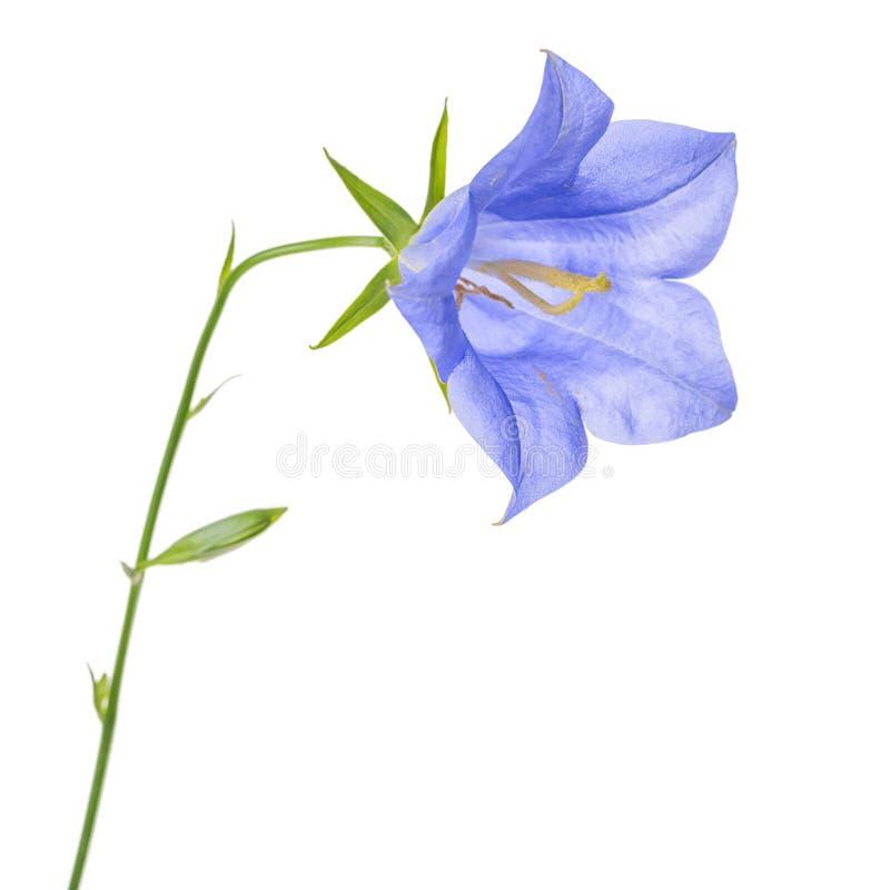 Bello fiore di campana blu singolo di fioritura isolato sul BAC bianco fotografie stock libere da diritti