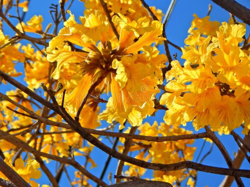 Bello fiore di campana gialla fotografie stock