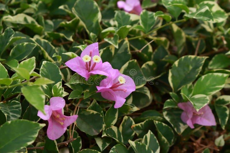 Bello fiore di carta o buganvillea rosa fotografie stock libere da diritti
