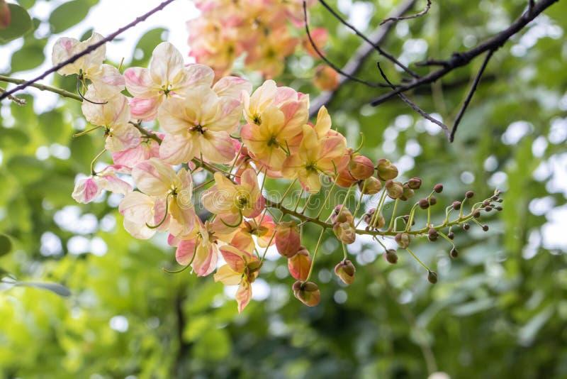 Bello fiore di Cassia Fistula del fuoco selettivo che fiorisce in un giardino Golden Shower inoltre chiamato, cassia di eliminazi fotografia stock libera da diritti