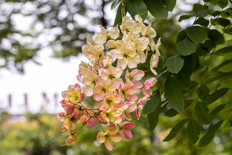 Bello fiore di Cassia Fistula del fuoco selettivo che fiorisce in un giardino Golden Shower inoltre chiamato, cassia di eliminazi immagine stock