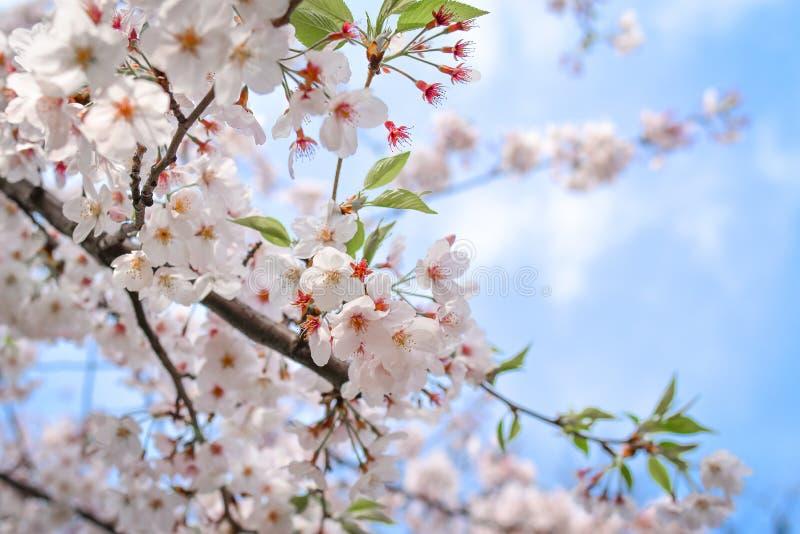 Bello fiore di ciliegia fotografie stock