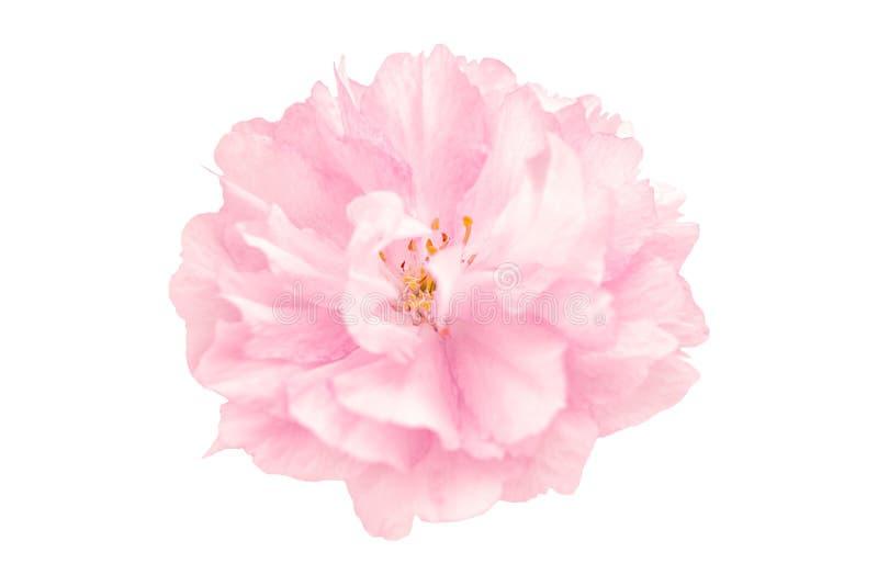 Bello fiore di ciliegia rosa del fiore di sakura isolato su fondo bianco Profondità bassa Morbidezza tonificata Modello della car fotografie stock