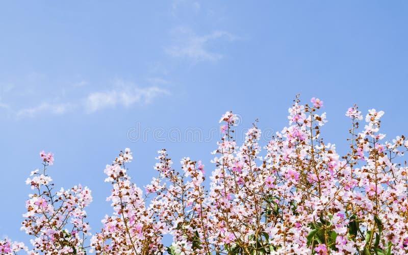 Bello fiore di ciliegia, fiore rosa di sakura fotografia stock
