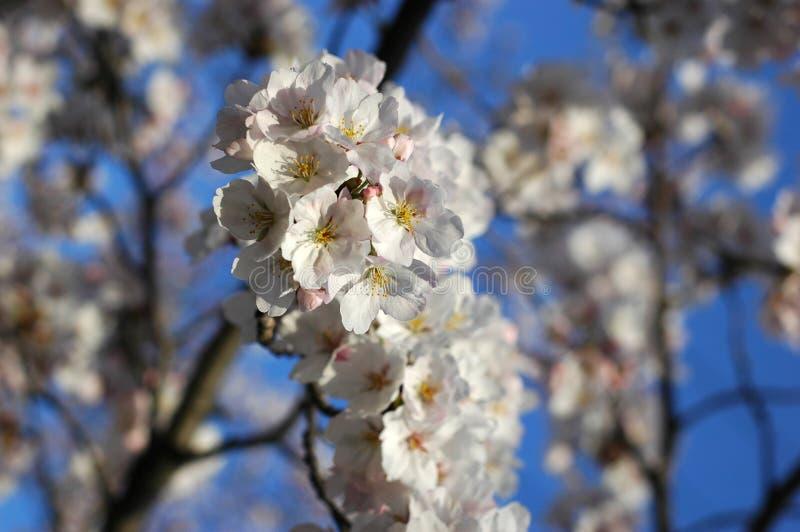 Bello fiore di ciliegia sakura immagini stock