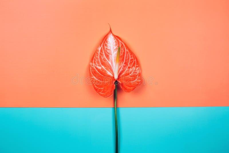 Bello fiore di corallo tropicale dell'anturio su fondo doppio fotografie stock