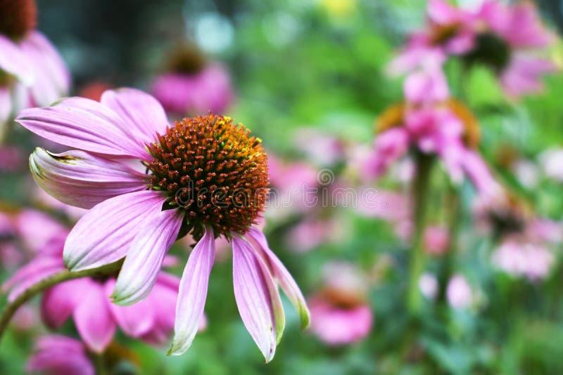 Bello fiore di fioritura dell'echinacea con lo spazio della copia fotografia stock