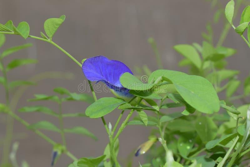 Bello fiore di ipomea fotografia stock libera da diritti