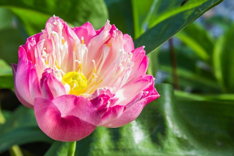 Bello fiore di loto immagini stock libere da diritti