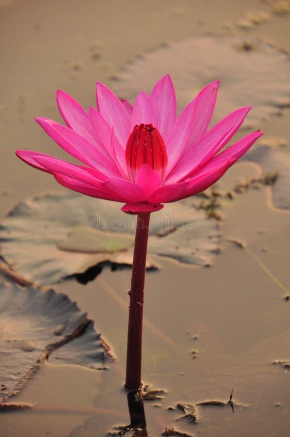 Bello fiore di loto ad alba, Cambogia immagini stock